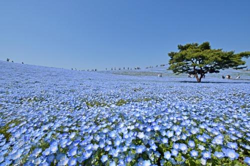 国営ひたち海浜公園(茨城)